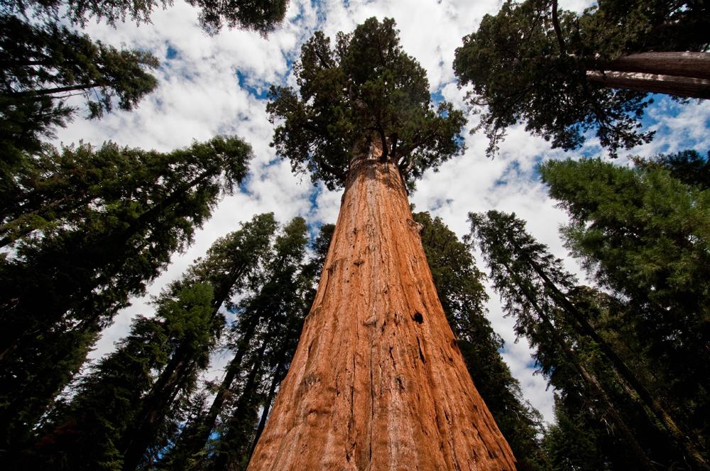самое высокое дерево в мире фото сможете скачать