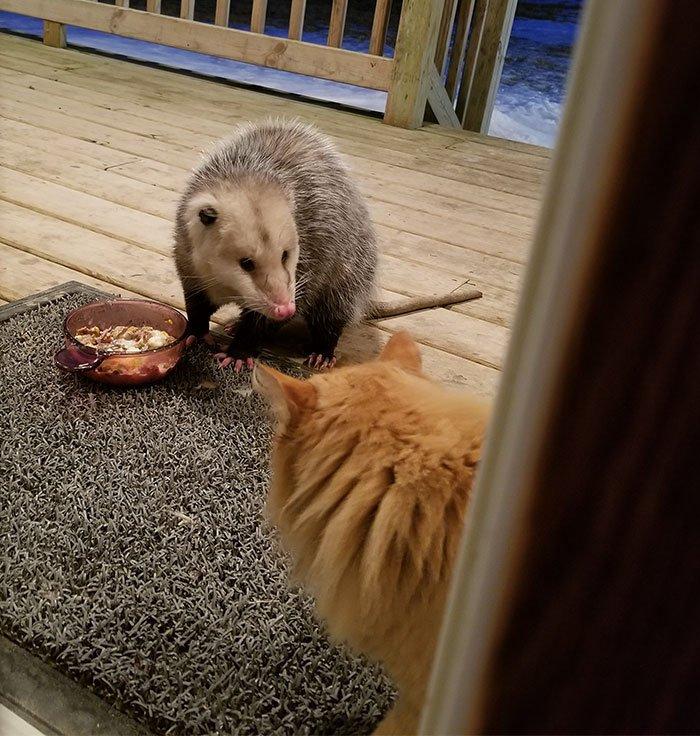 Реакция этого кота на то, как крадут его еду, заслуживает золотой статуэтки
