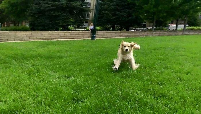26 фото доказывающих, что Ретриверы лучшие псы на свете
