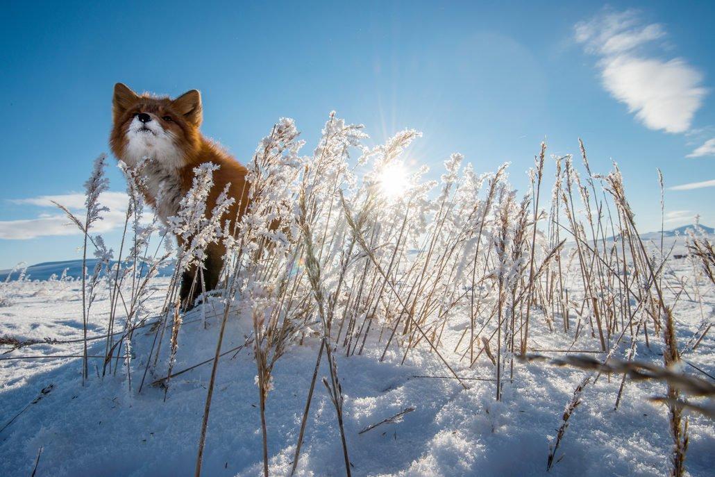 Шахтер из России в перерывах между работой фотографирует лисиц за полярным кругом