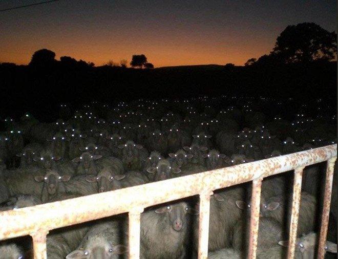 20 устрашающих снимков овец сделанных ночью