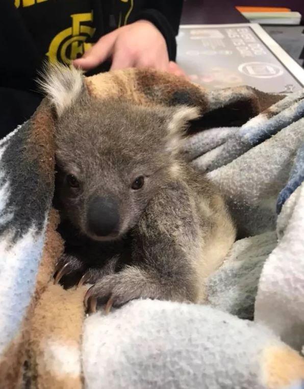 Ретривер золотистого окраса спас жизнь детенышу коалы, согрев его
