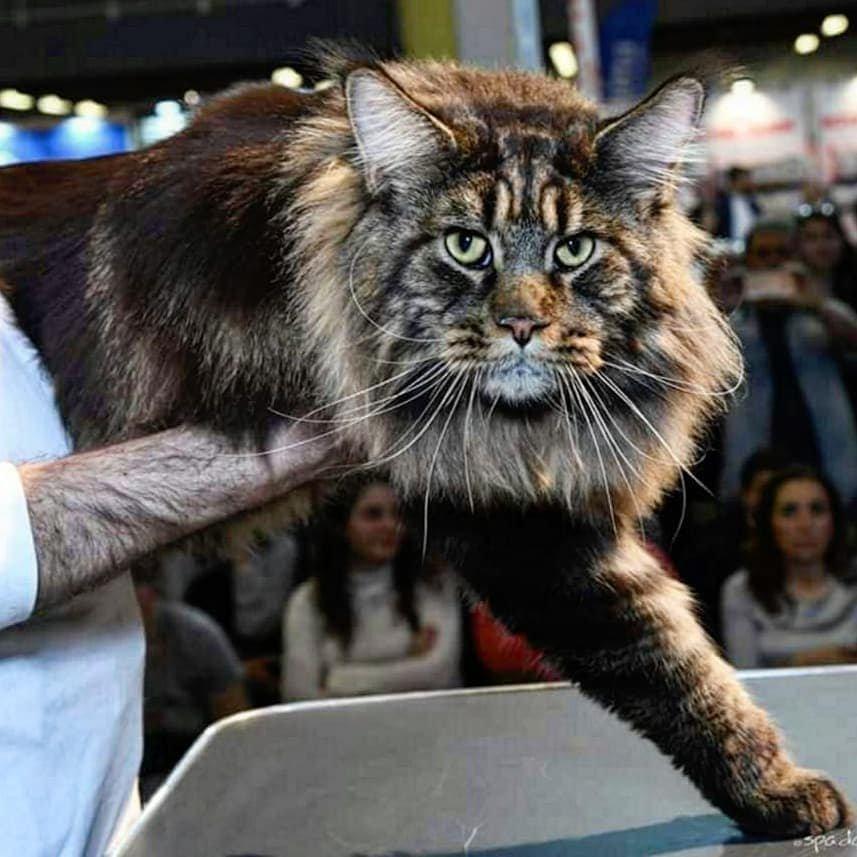 запросто самые большие коты в мире показать фото течение одного