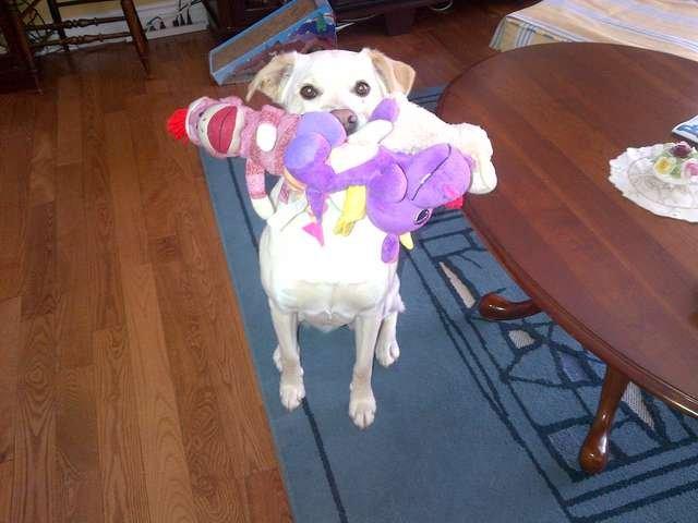 Дружелюбный пес приносит игрушку каждому гостю в его доме