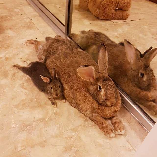 Крошечный кролик без ума от своей огромной подруги, которая в 4 раза больше его