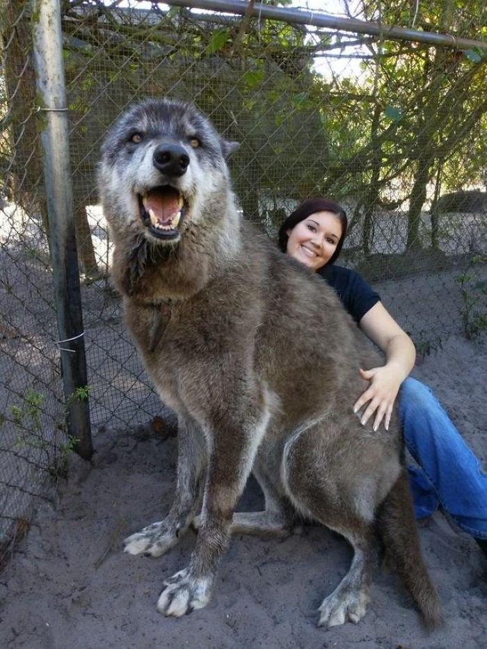 Хозяева испугались и бросили волчью собаку умирать, но ее спасли