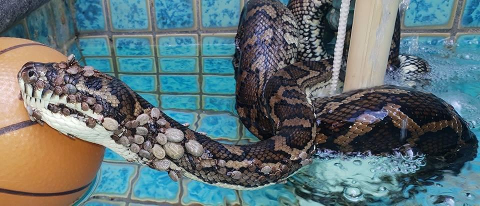 Змею, пораженную пятью сотнями клещами, обнаружили в бассейне Австралии