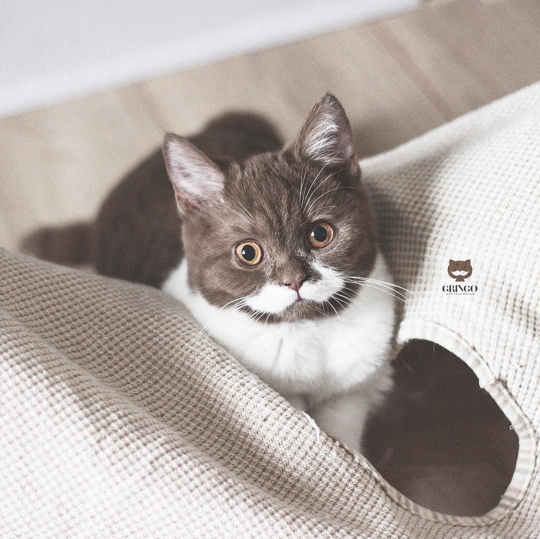 Познакомьтесь с Гринго, котом, усы которого заставляют влюбиться в него