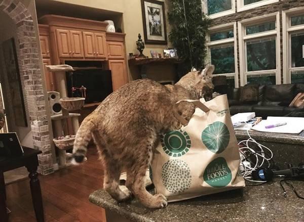 Женщина приютила огромную кошку и только на следующий день поняла, что это за животное