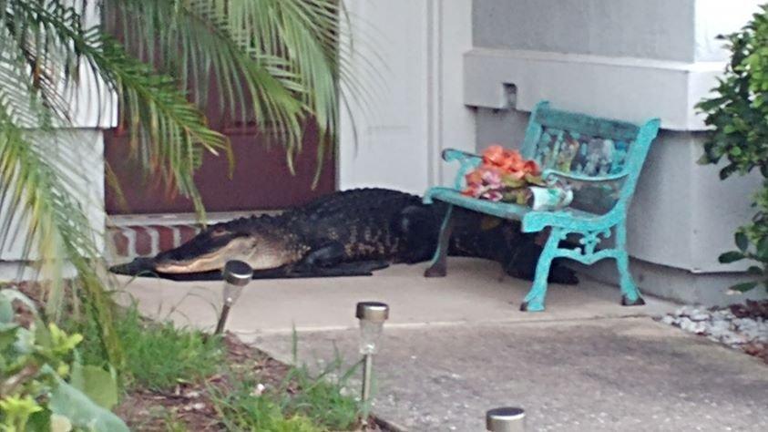 Житель Флориды вернулся домой с работы, обнаружив на пороге двухметрового аллигатора