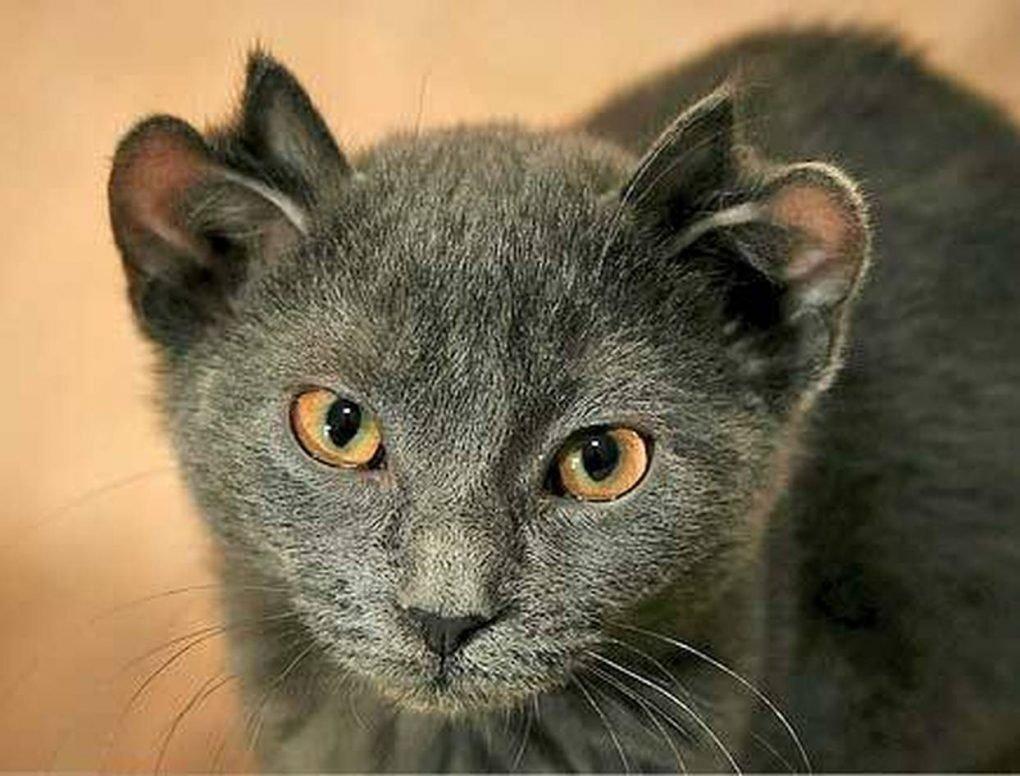 Знакомьтесь с Йодой, четырехухим котом из Иллинойса