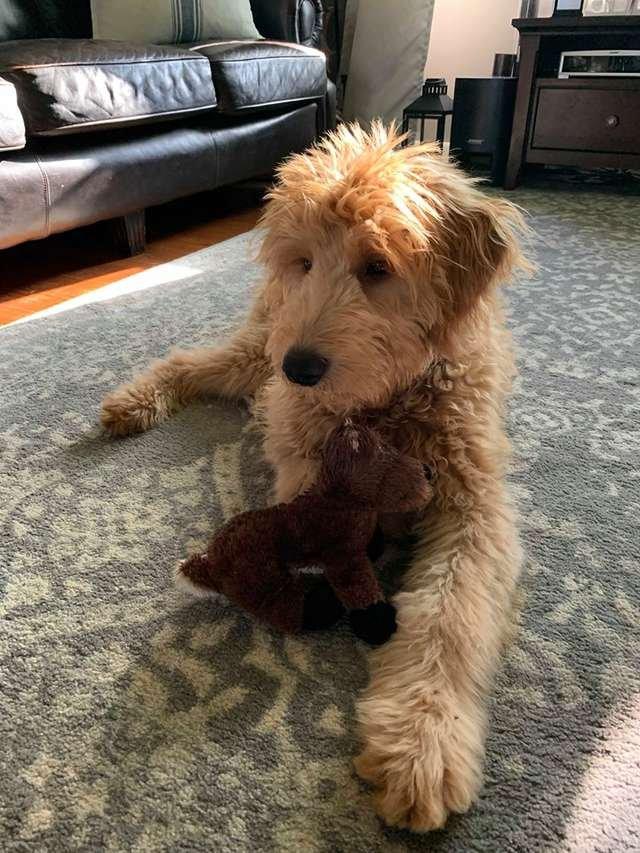 Обеспокоенный пес наблюдает за «операцией» своей любимой игрушки