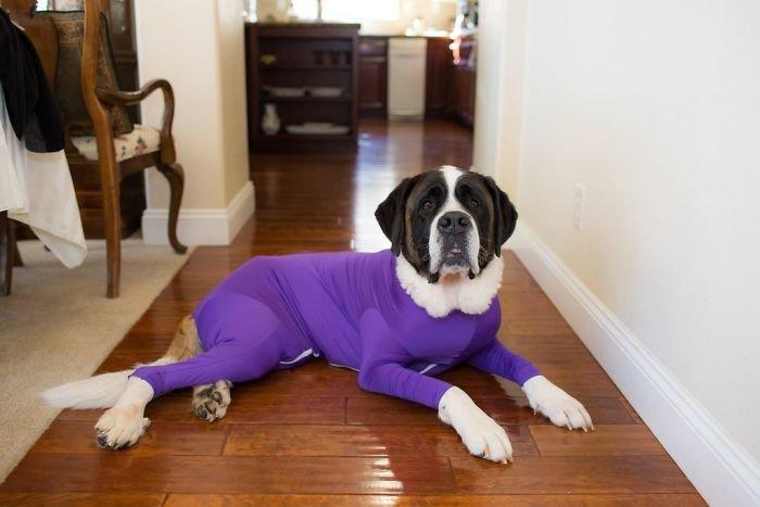 В интернет-магазинах начали продавать комбинезоны для собак, которые защитят ваш дом от шерсти