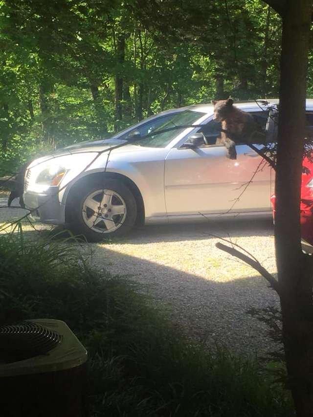 Мужчина вышел на улицу и обнаружил целую семью медведей в своей машине