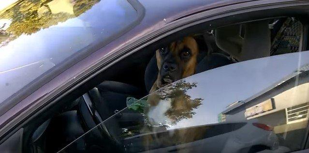 Парни решили подшутить над псом за рулем, и он словно подыграл им