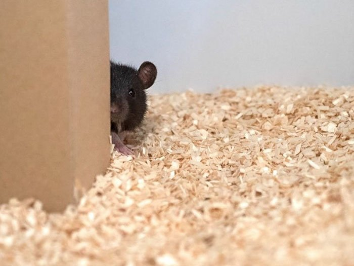 Новое открытие ученых: крысы любят и умеют играть в прятки