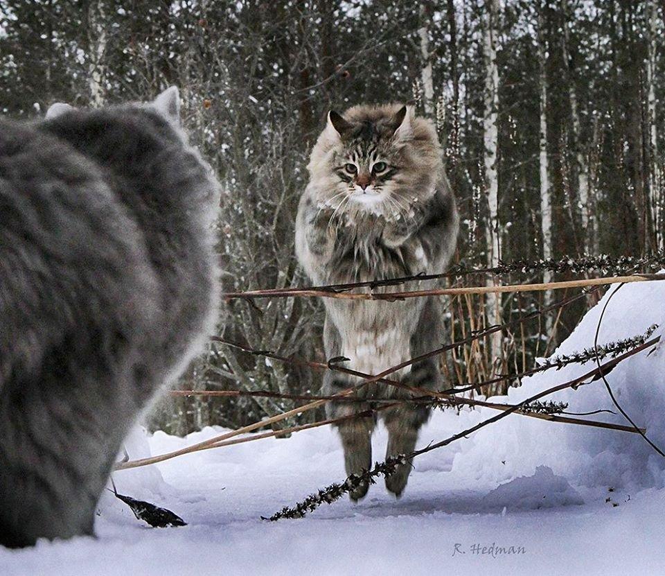 20 фото идеальной снежной жизни северных котов