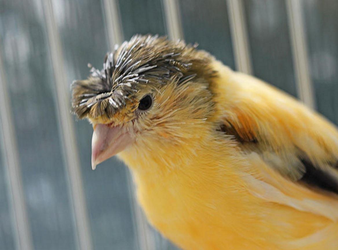 Канарейка глостер – птица с самой стильной прической