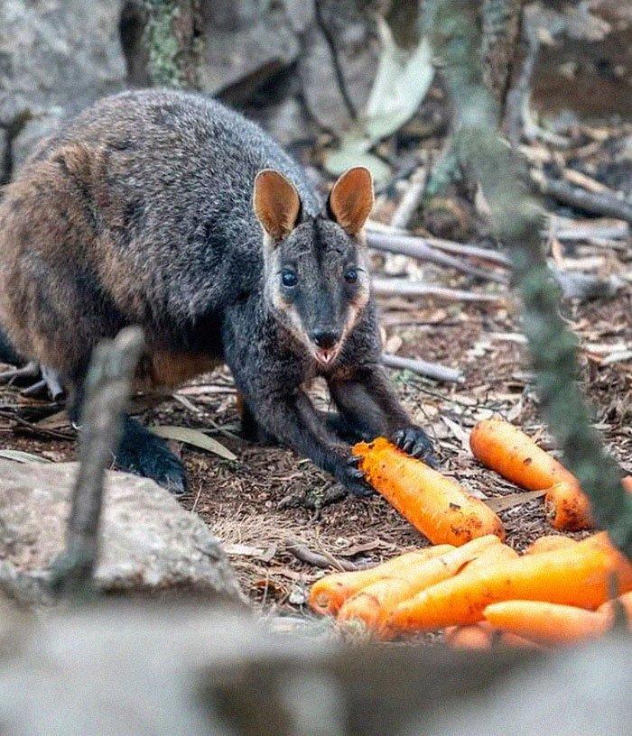 Самолеты сбрасывают еду голодным животным после пожара Австралии