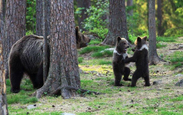 Учитель наткнулся в финском лесу на танцующих медвежат